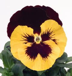 Viola x w. Inspire žl.s červ.plátky a okem F1 500s - 3