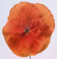 Viola x w. Inspire tmavě oranžová  F1 500s - 3