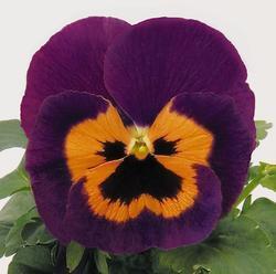 Viola x w. Inspire fialovooranžová F1 500s - 3