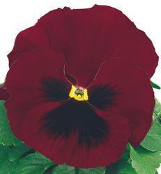 Viola x w. Inspire červená s okem  F1 500s - 3