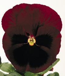 Viola x w. Inspire rubínová  F1 500s - 3