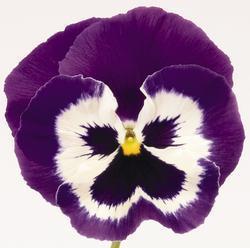 Viola x w. Inspire fialovobílá  F1 500s - 3