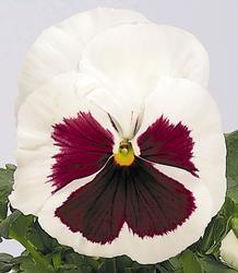 Viola x w. Inspire bílá s červ. okem 500s - 3