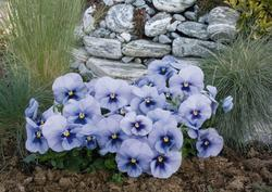 Viola x w. Inspire Silver Blue with Eye 500 seeds - 3