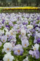 Viola x w. Inspire Lavender F1 500 seeds - 3