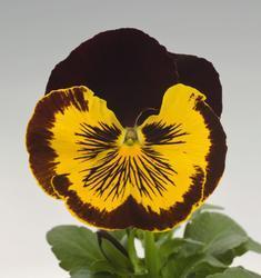 Viola x w. Cats červenozlatá F1 500s - 3
