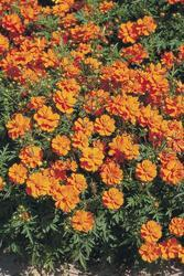 Cosmos sulphureus Cosmic Orange 100s - 4