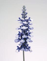 Salvia farinacea Fairy Queen 1000s - 4