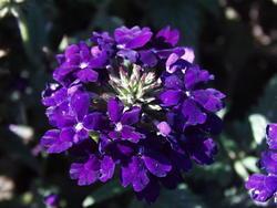 Verbena hybrida Mamut Směs 2g - 4