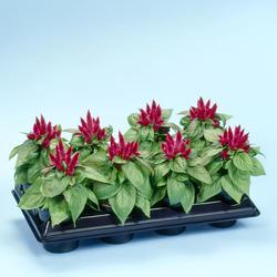 Celosia spicata Kosmo Purple Red 100s - 5
