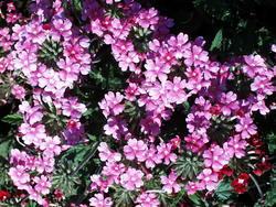 Verbena hybrida Mamut Směs 2g - 5
