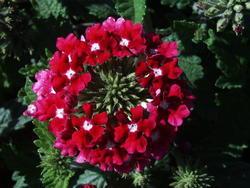 Verbena hybrida Mamut Směs 2g - 6