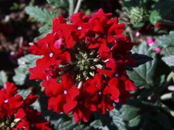 Verbena hybrida Mamut Směs 2g - 7