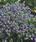 Myosotis sylvatica Compindi 500s