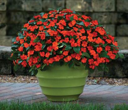 Begonia boliviensis Tricolour