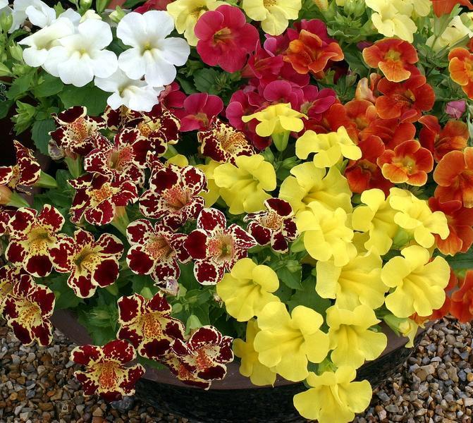 Мимулюс цветов рассада
